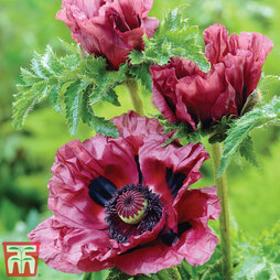 Poppy 'Pattys Plum'