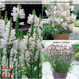 Perfect Patio Perennial Collection