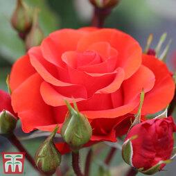 Rose 'Precious Love' (Floribunda Rose)