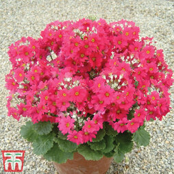 Primula malacoides 'Deep Red/ Crimson'