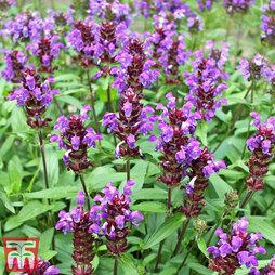 Prunella grandiflora ?Violet-Flowered?