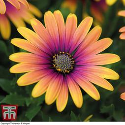 Osteospermum 'Purple Sun'