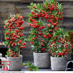 Pyracantha coccinea 'Red Star'