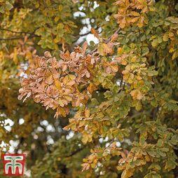 Truffle Tree - Oak - Gift