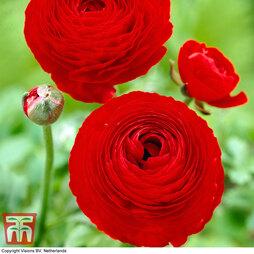 Ranunculus 'Red'