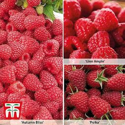 Raspberry All Season Collection