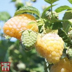 Raspberry 'Summer Lovers Garden Golden'