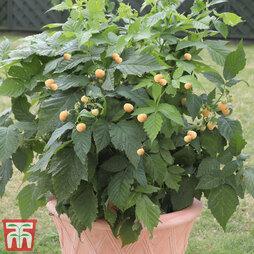 Raspberry 'Summer Lovers Patio Gold' (Patio fruit)