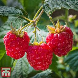 Raspberry 'Heritage' (Autumn fruiting)