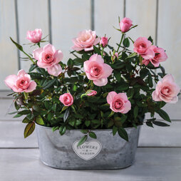 RosAroma™ Scented Roses 'Blush Duo' - Gift