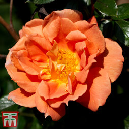 Rose 'Bridge of Sighs' (Climbing Rose)