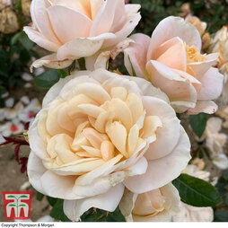 Rose 'Champagne Moment' (Floribunda Rose)