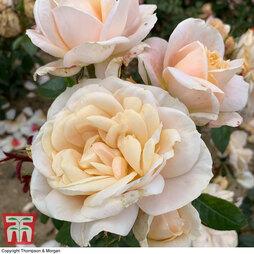 Rose 'Champagne Moment' (Floribunda Rose)