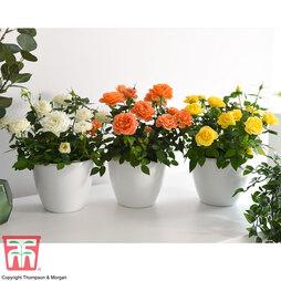 Rose Mini Patio Collection
