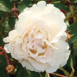 Rose 'Easy Elegance Snowdrift'