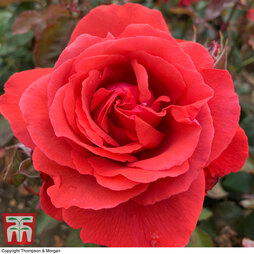 Rose 'Fragrant Cloud' (Hybrid Tea Rose)