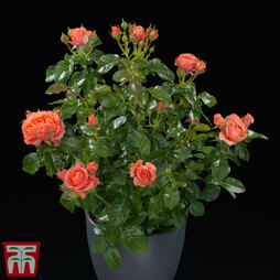 Rose Incredible™ 'Juicy' (Shrub Rose)