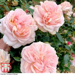 Rose 'Joie de Vivre' (Floribunda Rose)