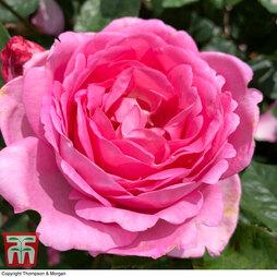 Rose 'Mum in a Million' (Hybrid Tea Rose)