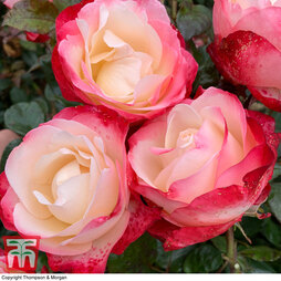 Rose 'Nostalgia' (Hybrid Tea Rose)