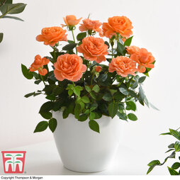 Rose Mini Patio lotz Orange
