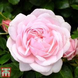 Rose 'Our Beth' (Shrub Rose)