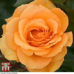Rose 'Super Trooper' (Floribunda Rose)