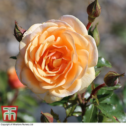 Rose 'Sweet Honey' (Floribunda Rose)