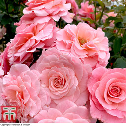 Rose 'Tinkled Pink' (Floribunda Rose)
