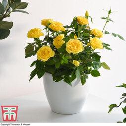 Rose Mini Patio lotz Yellow