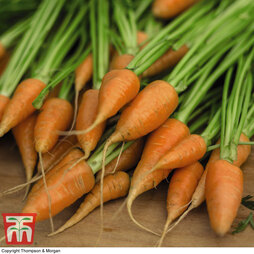 Carrot 'Royal Chantenay'