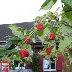 Raspberry 'Summer Lovers Late'