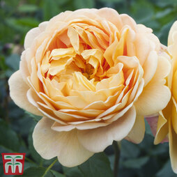 Rose 'Scented Double Gold'