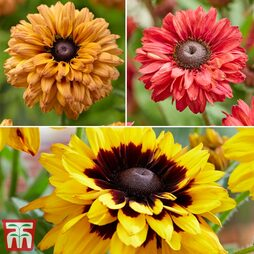Rudbeckia 'Enchanted Collection'