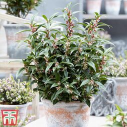 Sarcococca hookeriana 'Winter Gem'