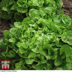 Organic Lettuce 'Red & Green Salad Bowl Mixed' (Loose-Leaf)