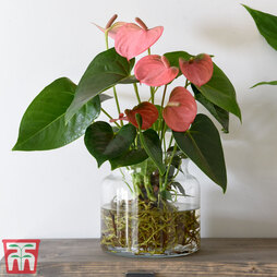 Anthurium Aqua Salmon in Sierglass (House Plant)