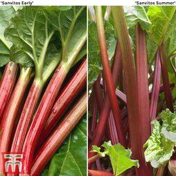 Rhubarb 'Sanvitos®' Duo