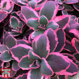 Sedum 'Sunsparkler Dream Dazzler'