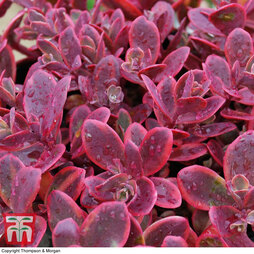 Sedum 'Sunsparkler Wildfire'