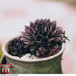Sempervivum 'Black' (Houseplant)