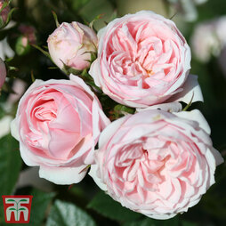 Rose 'Silver Wishes' (Patio Shrub Rose)