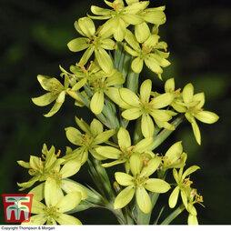 Sisyrinchium palmifolium 'Canary'