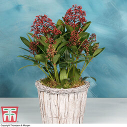 Skimmia in Birch Bark Pot