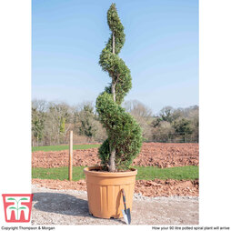 Leyland Cypress 'Castlewellan' Topiary