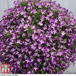 Petunia 'Surfinia Star Violet'