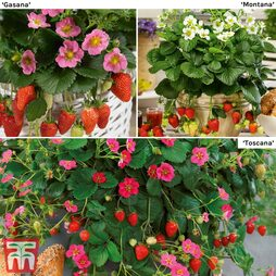 Strawberry Patio Perfect Collection
