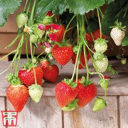 Strawberry 'Summer Breeze Rose'