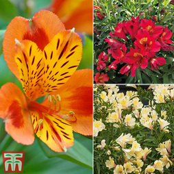 Alstroemeria 'Summer Collection'
