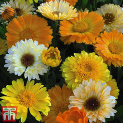 Calendula officinalis 'Summer Sunset'